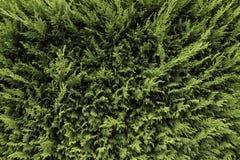 зеленая изгородь Стоковая Фотография