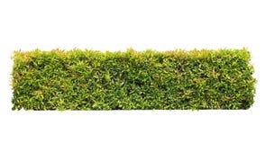 Зеленая изолированная изгородь стоковые изображения