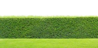 Зеленая изолированная изгородь стоковые фото