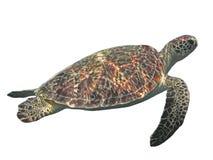Зеленая изолированная морская черепаха, тропическая черепаха на белизне Стоковые Изображения
