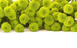 Зеленая изолированная хризантема Стоковое Изображение