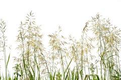 Зеленая длинная трава изолированная на белой предпосылке Стоковые Фотографии RF