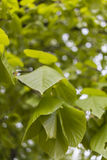 Зеленая липа выходит весной Стоковые Изображения RF