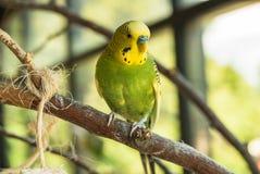 Зеленая и желтая птица Стоковые Изображения RF