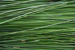 Зеленая камышовая предпосылка Стоковые Изображения RF
