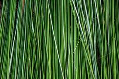 Зеленая камышовая предпосылка Стоковое Фото
