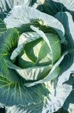 Зеленая капуста в росте Стоковая Фотография RF