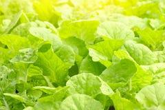 Зеленая капуста в саде Стоковое фото RF