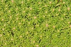 Зеленая картина мх-Розы Стоковые Фото