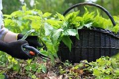 зеленая крапива herbalism Стоковая Фотография