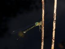 Зеленая красотка на ноче Стоковые Изображения