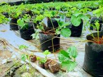 зеленая клубника Стоковое фото RF