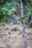 Зеленая мамба на ветви Стоковые Изображения RF
