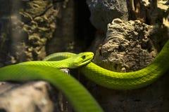 Зеленая мамба Стоковые Фото