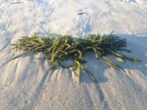 Зеленая морская водоросль на Лонг-Бич Стоковые Изображения