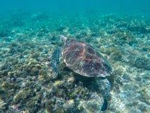 Зеленая морская черепаха в лагуне бирюзы Зеленая черепаха в морской воде Стоковое Изображение