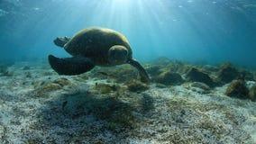 Зеленая морская черепаха подводная видеоматериал