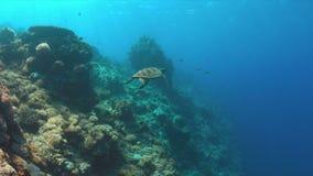 Зеленая морская черепаха плавает на коралловом рифе 4k акции видеоматериалы