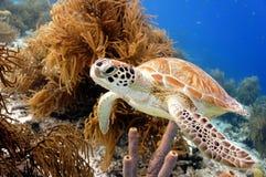 Зеленая морская черепаха Стоковая Фотография