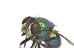 Зеленая муха изолированная на белой предпосылке Стоковые Фото