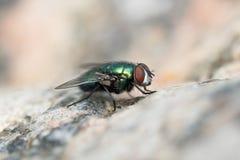 Зеленая муха на каменной поверхности Стоковое фото RF