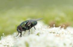 Зеленая муха на цветке стоковые изображения rf