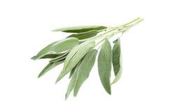 Зеленая мудрая ветвь Стоковые Фото