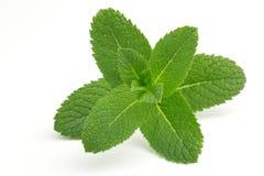 зеленая мята Стоковое Изображение RF
