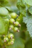Зеленая незрелая сфокусированная нежность пука черной смородины Стоковое фото RF