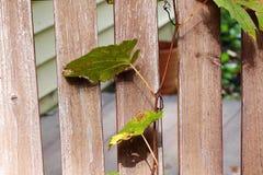 Зеленая лоза виноградин Стоковые Изображения