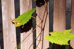 Зеленая лоза виноградин Стоковые Фото