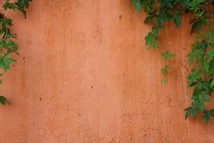 Зеленая лоза на бледной оранжевой стене цемента Стоковые Фотографии RF