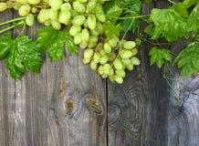Зеленая лоза с пуком зрелых белых виноградин Стоковые Фото