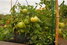 зеленая лоза томатов Стоковое Изображение RF
