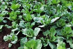 Зеленая, домодельная капуста растя на огороде Стоковые Изображения RF