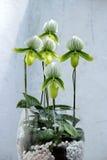 Зеленая орхидея бабочки Стоковые Изображения