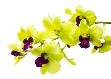 Зеленая орхидея изолированная на белизне Стоковая Фотография