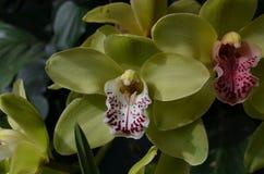 Зеленая орхидея с Maroon в ем зацветать ` s разбивочный Стоковые Изображения RF