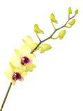 Зеленая орхидея цветет при ветвь изолированная на белой предпосылке Стоковое Фото