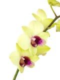 Зеленая орхидея цветет при ветвь изолированная на белой предпосылке Стоковая Фотография