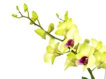 Зеленая орхидея цветет при ветвь изолированная на белой предпосылке Стоковое Изображение RF
