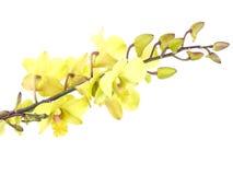 Зеленая орхидея цветет при ветвь изолированная на белой предпосылке Стоковые Изображения
