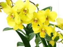 Зеленая орхидея цветет при ветвь изолированная на белой предпосылке Стоковое Изображение