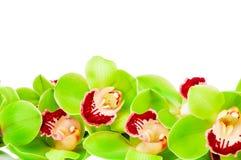 зеленая орхидея Стоковые Фотографии RF