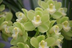 зеленая орхидея Стоковое Изображение RF