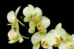 зеленая орхидея стоковое изображение