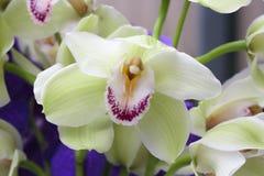 Зеленая орхидея Cymbidium  Стоковые Изображения