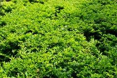 Зеленая поверхность изгороди сада Стоковое Изображение