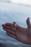 Зеленая посадка dragonfly на female& x27; рука s стоковое фото