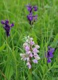 зеленая подогнали орхидея, котор Стоковое Фото